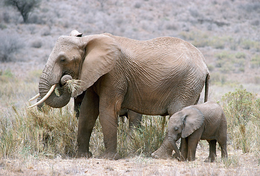 AFW 04 MC0010 01 © Kimball Stock African Elephant With Young Eating Grass Kenya