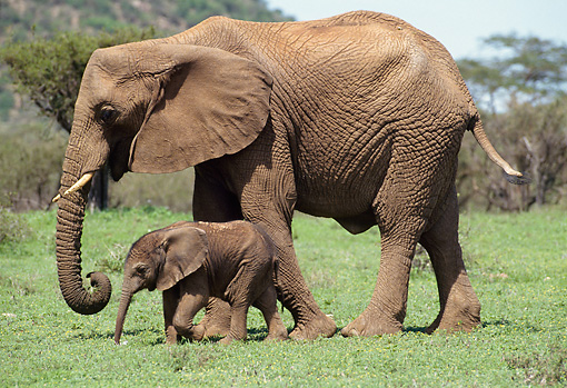 AFW 04 MC0011 01 © Kimball Stock African Elephant With Young Walking On Grass Kenya