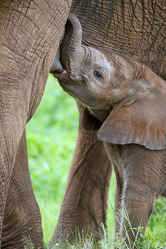 AFW 04 MC0015 01 © Kimball Stock Portrait Of African Elephant Calf Nursing Kenya