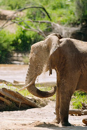 AFW 04 MC0016 01 © Kimball Stock Portrait Of African Elephant Bathing In Dirt Kenya