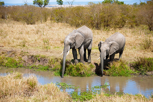 AFW 04 MC0030 01 © Kimball Stock Two African Elephants Drinking From Watering Hole Kenya