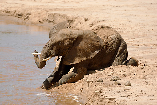 AFW 04 MC0031 01 © Kimball Stock African Elephant Taking Mud Bath In Watering Hole Kenya