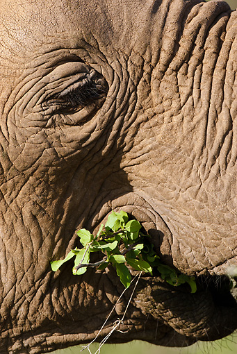 AFW 04 MC0035 01 © Kimball Stock Close-Up Of African Elephant Eating Leaves Kenya