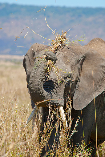 AFW 04 MC0036 01 © Kimball Stock Portrait Of African Elephant Eating Dry Grass On Savanna Kenya