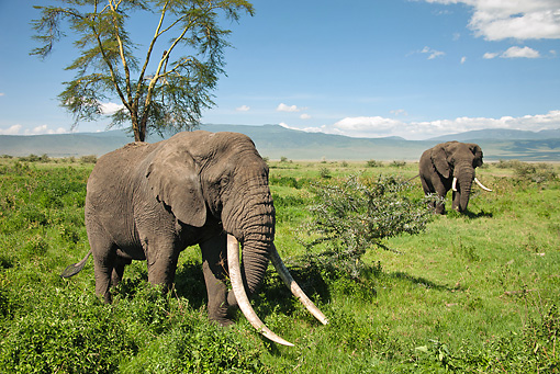 AFW 04 MC0049 01 © Kimball Stock African Elephants Walking Through Near Ngorongoro Crater Tanzania