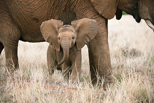AFW 04 MC0051 01 © Kimball Stock African Elephant Calf Standing Under Mother Masai Mara, Kenya