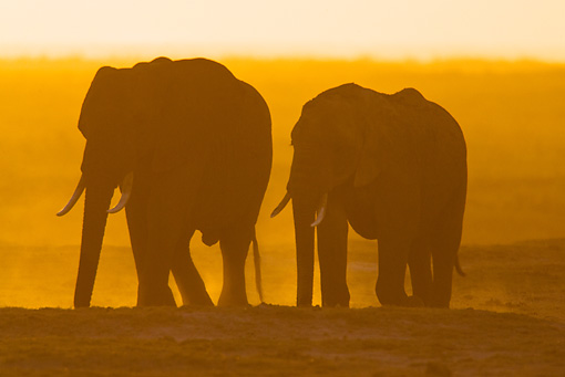 AFW 04 MC0056 01 © Kimball Stock Silhouette Of African Elephants Walking Through Dusty Masai Mara, Kenya At Sunset
