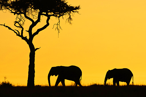 AFW 04 MC0060 01 © Kimball Stock Silhouette Of Two African Elephants Walking Through Mara Triangle, Kenya At Sunset