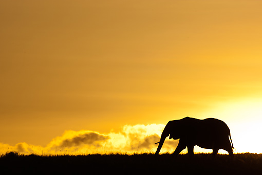 AFW 04 MC0061 01 © Kimball Stock Silhouette Of African Elephant Walking Through Mara Triangle, Kenya At Sunset