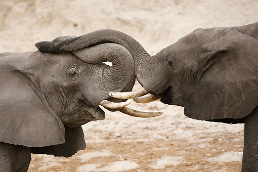 AFW 04 MC0067 01 © Kimball Stock Two African Elephants Fighting In Chobe National Park, Botswana