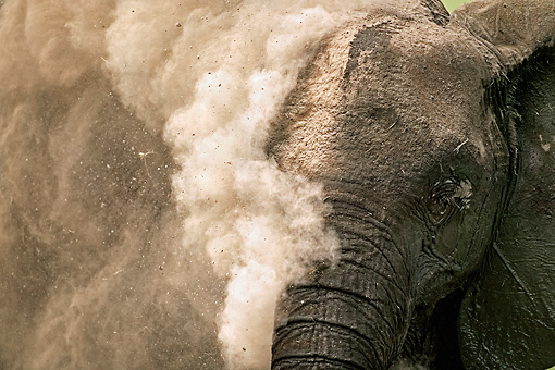 AFW 04 MH0002 01 © Kimball Stock Head Shot Of African Elephant Dust Bathing Kenya
