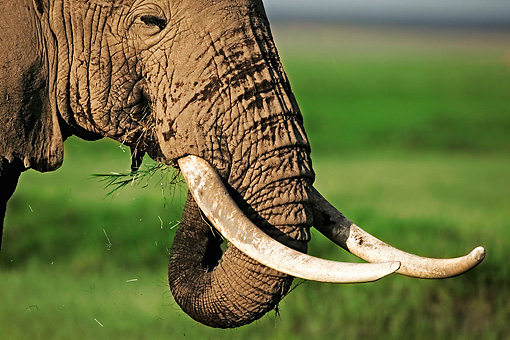 AFW 04 MH0004 01 © Kimball Stock Head Shot Of African Elephant Eating Kenya