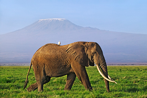 AFW 04 MH0006 01 © Kimball Stock African Elephant With Bird On Back Walking On Savanna By Mountain Kenya