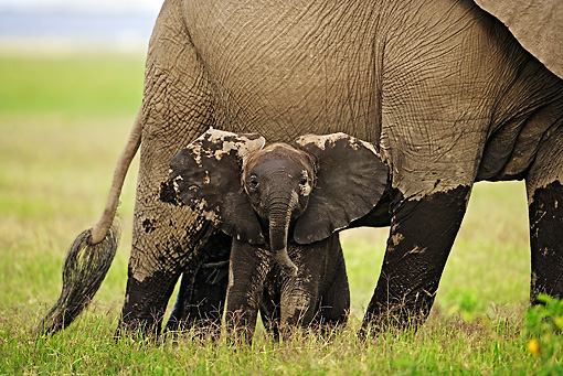 AFW 04 MH0024 01 © Kimball Stock Muddy African Elephant Calf On Savanna By Mother Kenya