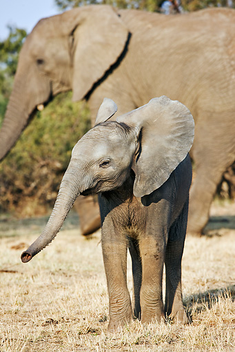 AFW 04 MH0025 01 © Kimball Stock African Elephant Calf Standing On Savanna By Mother Kenya