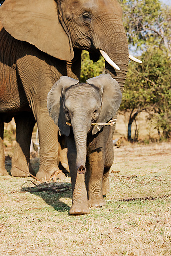 AFW 04 MH0026 01 © Kimball Stock African Elephant Calf Walking On Savanna By Mother Carrying Stick Kenya