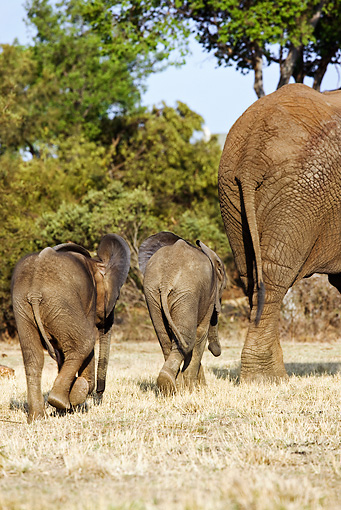 AFW 04 MH0032 01 © Kimball Stock Two African Elephant Calves Walking On Savanna Following Mother Kenya