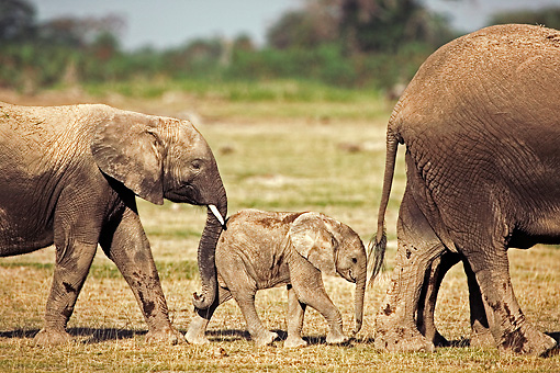 AFW 04 MH0033 01 © Kimball Stock Two African Elephant Calves Walking On Savanna Following Mother Kenya