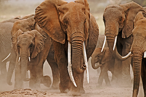 AFW 04 MH0043 01 © Kimball Stock Herd Of African Elephants Walking On Savanna Kenya