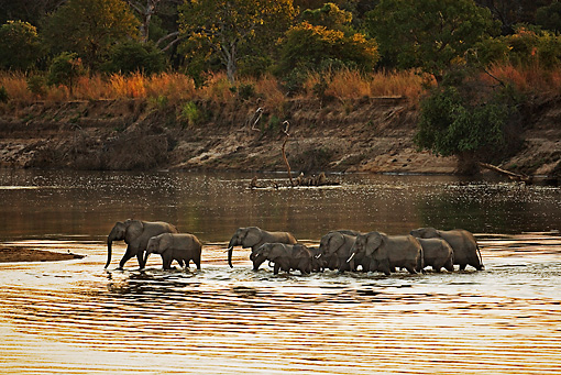 AFW 04 MH0052 01 © Kimball Stock Herd Of African Elephants Crossing River Kenya