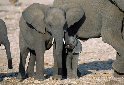AFW 04 MH0053 01 © Kimball Stock Young African Elephants Standing In Savanna