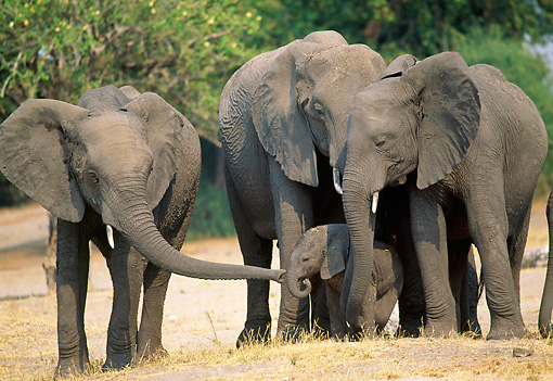 AFW 04 MH0065 01 © Kimball Stock Herd Of African Elephants Standing In Grassland
