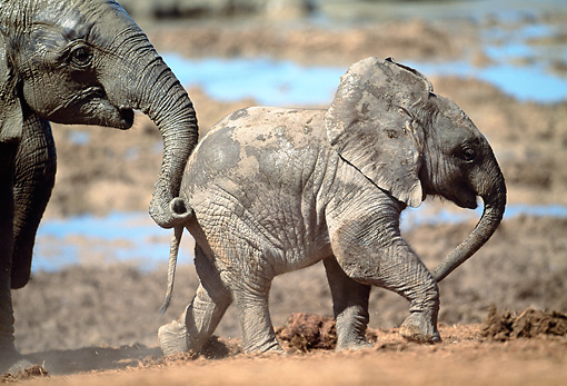 AFW 04 MH0070 01 © Kimball Stock Portrait Of Young African Elephant Walking Through Mud