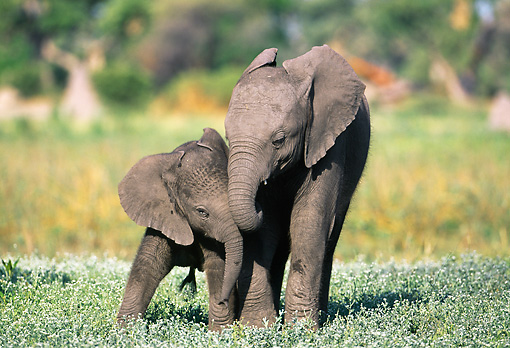 AFW 04 MH0072 01 © Kimball Stock Portrait Of Two Young African Elephants Playing In Grass