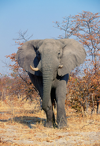 AFW 04 MH0073 01 © Kimball Stock Portrait Of African Elephant Standing In Grassland