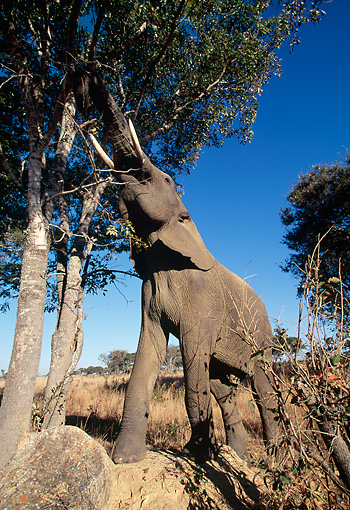 AFW 04 MH0076 01 © Kimball Stock Portrait Of African Elephant Reaching Up Into Tree To Grab Leaves