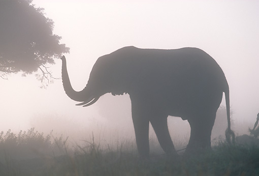 AFW 04 MH0077 01 © Kimball Stock Silhouette Of African Elephant Reaching Toward Tree In Misty Grassland