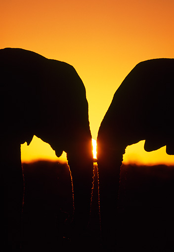 AFW 04 MH0078 01 © Kimball Stock Silhouette Of Two African Elephants Face To Face At Sunset