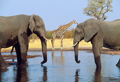 AFW 04 MH0079 01 © Kimball Stock Two African Elephants Standing In Watering Hold Face To Face