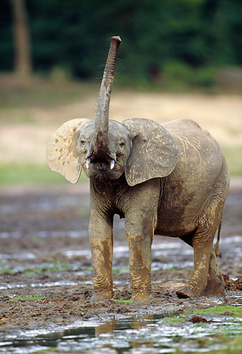 AFW 04 MH0085 01 © Kimball Stock Portrait Of Young African Forest Elephant Standing In Mud Raising Trunk
