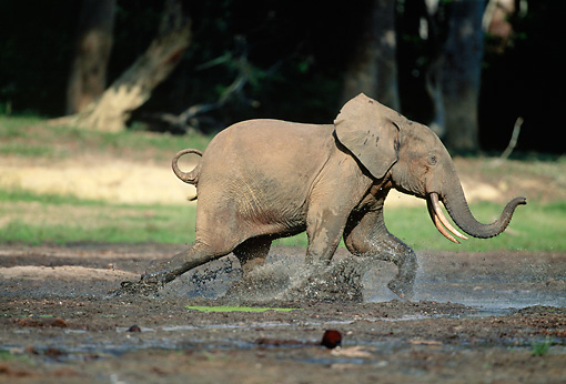 AFW 04 MH0086 01 © Kimball Stock African Forest Elephant Running Through Mud
