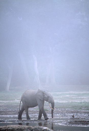 AFW 04 MH0087 01 © Kimball Stock African Forest Elephant Walking Through Mud In Mist