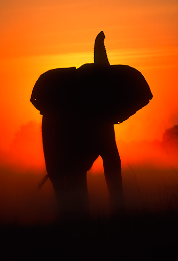AFW 04 MH0090 01 © Kimball Stock Silhouette Of African Elephant Standing In Plains At Sunset