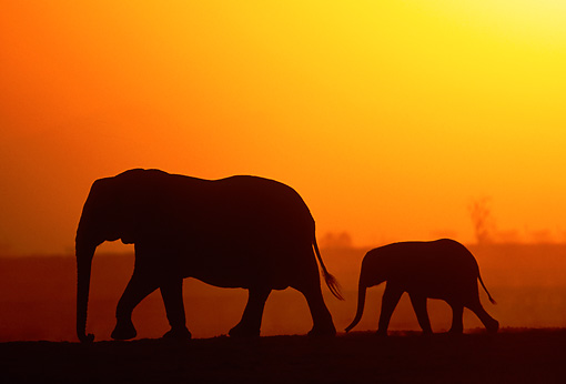 AFW 04 MH0091 01 © Kimball Stock Silhouette Of African Elephant Adult And Calf Walking At Sunset