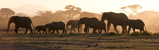 AFW 04 NE0011 01 © Kimball Stock Herd Of African Elephants Walking At Sunset Through Amboseli National Park Kenya
