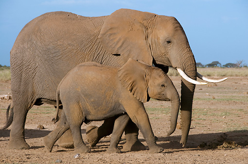 AFW 04 NE0012 01 © Kimball Stock African Elephant Mother And Calf Walking Through Amboseli National Park Kenya