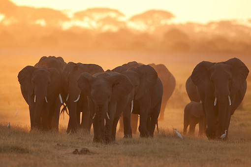 AFW 04 NE0015 01 © Kimball Stock Herd Of African Elephants Walking At Dawn Through Amboseli National Park Kenya