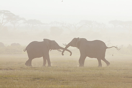 AFW 04 NE0019 01 © Kimball Stock Two African Elephants Fighting In Dust Storm Amboseli National Park Kenya