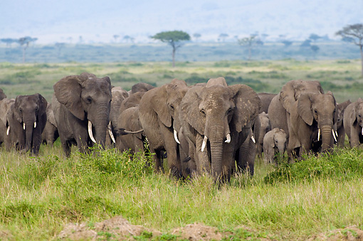 AFW 04 NE0020 01 © Kimball Stock Herd Of African Elephants Walking Through Serengeti Plains Kenya