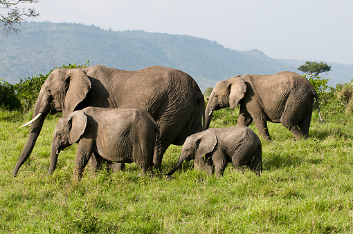 AFW 04 NE0022 01 © Kimball Stock Herd Of African Elephants Walking Through Serengeti Plains Kenya