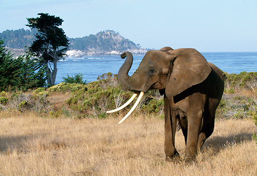 AFW 04 RK0058 05 © Kimball Stock Elephant Standing On Dry Grass