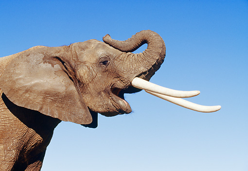 AFW 04 RK0075 04 © Kimball Stock Close Up Head Shot Of Elephant Head And Trunk Raised Blue Sky