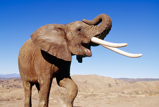 AFW 04 RK0082 04 © Kimball Stock Elephant With White Tusks Standing With One Leg Up And Trunk Raised In Air Blue Sky