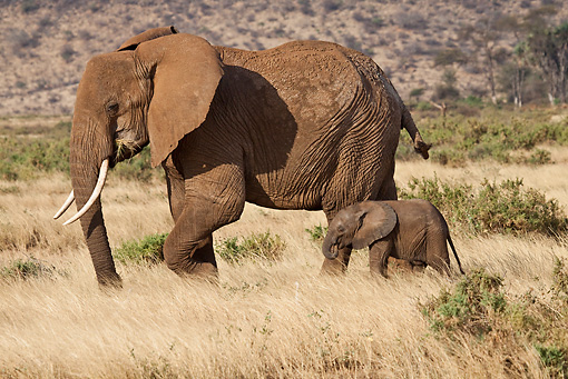 AFW 04 RW0003 01 © Kimball Stock African Elephant Adult And Calf Walking Through Samburu National Reserve, Kenya