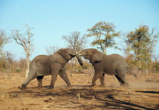 AFW 04 WF0003 01 © Kimball Stock Two African Elephants Fighting Kruger National Park, South Africa