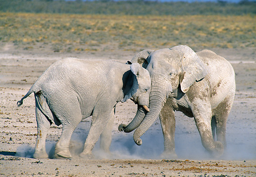 AFW 04 WF0004 01 © Kimball Stock Two African Elephants Fighting In Dust Etosha National Park, Namibia